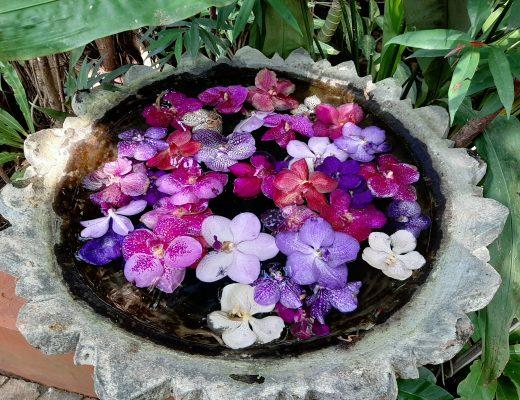 SaiNamPhungOrchid–fermedes Orchidées - MaeRimThaïlande